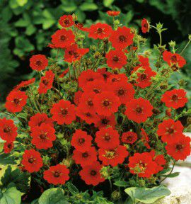POTENTILLE GIBSON'S SCARLET