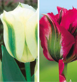 COLIBRIANT 20 TULIPES VIRIDIFLORA : 10 DOLL'S MINUET + 10 SPRING GREEN