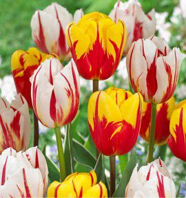COLLECTION 20 TULIPES TRIOMPHE : 10 HAPPY GENERATION + 10 HOLLAND QUEEN