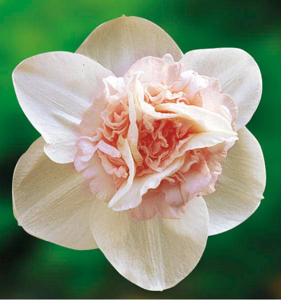 NARCISSE DOUBLE ROSY CLOUD