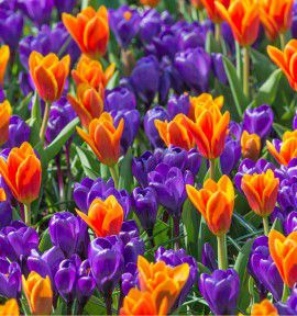COLLECTION CROCUS ET TULIPES