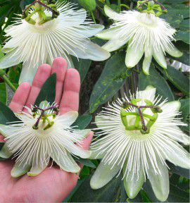 PASSIFLORE RIVERSIDE® SNOW QUEEN