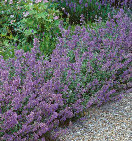 NEPETA JUNIOR WALKER® Novanejun