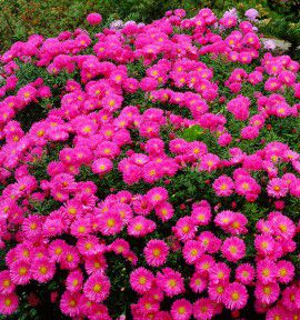 ASTER NAIN D'AUTOMNE ALICE HASLAM