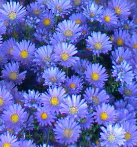 ASTER NAIN D'AUTOMNE LADY IN BLUE