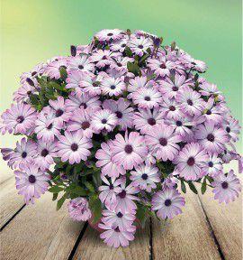 graines de fleurs jacques briant plantes en ligne p pini res jacques briant. Black Bedroom Furniture Sets. Home Design Ideas