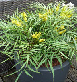 MAHONIA SOFT CARESS®