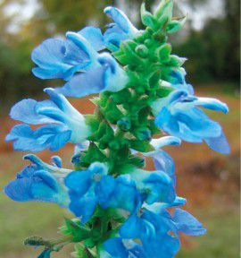 SALVIA ULIGINOSA
