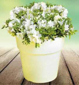 AZALEE BLOOMCHAMPION® WHITE