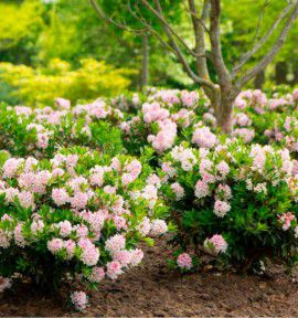 RHODODENDRON ARBUSTIF NUGGET BY BLOOMBUX®