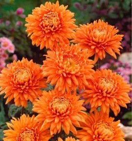 MARGUERITE D'AUTOMNE ORANGE