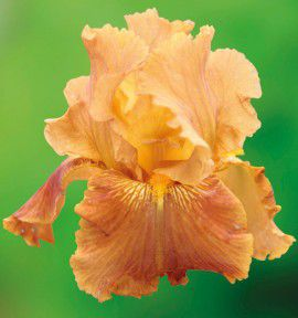 IRIS GERMANICA PENNY A PINCH