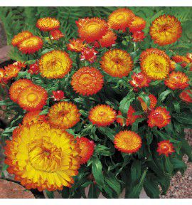 BRACTEANTHA DREAMTIME RED
