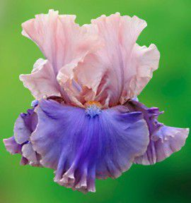 IRIS GERMANICA FLORENTINE SILK