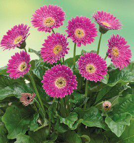 GERBERA GARVINEA® SWEET SURPRISE