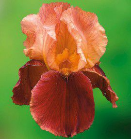 IRIS GERMANICA NATCHEZ TRACE