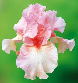 IRIS GERMANICA BEVERLY SILLS