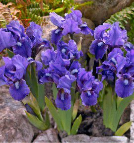 IRIS PUMILA LITTLE SHADOW