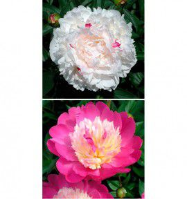 COLIBRIANT 2 PIVOINES : 1 FESTIVA MAXIMA + 1 BOWL OF BEAUTY