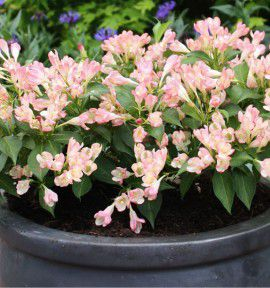 WEIGELIA ALL SUMMER PEACH® Slingpink