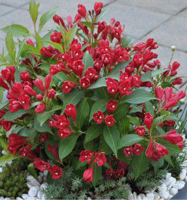 WEIGELIA ALL SUMMER RED® Slincot1