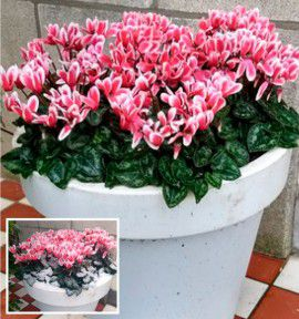 CYCLAMEN GOBLET SHINE WINE RED