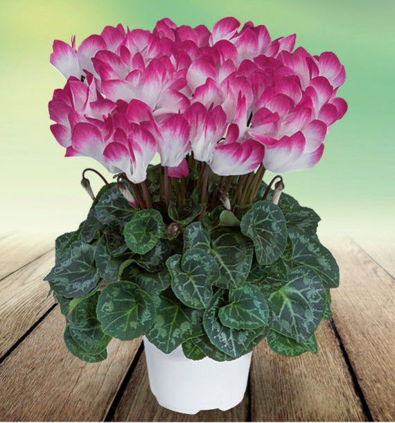 CYCLAMEN INDIAKA® PURPLE