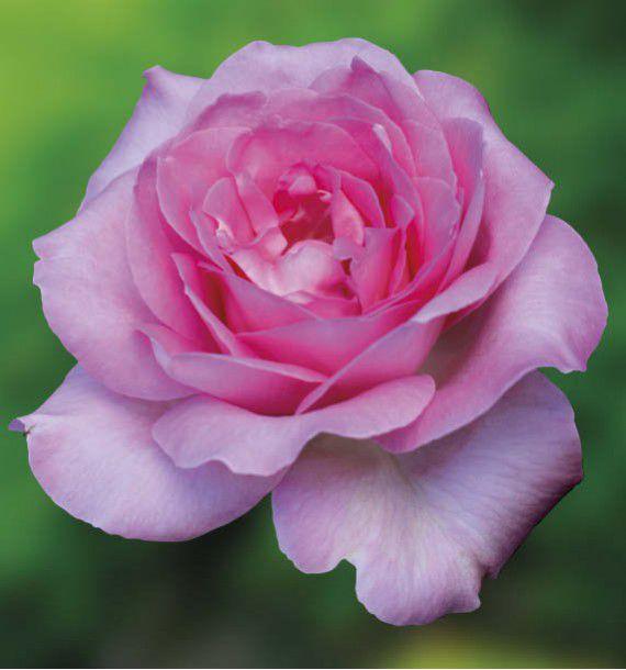 Rosier buisson beverly korpauvio plante en ligne - Rouille rosier traitement naturel ...