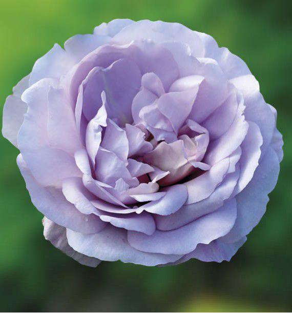 ROSIER BUISSON LADY PERFUME ® WEKpeawby