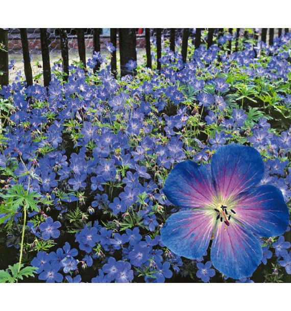 GERANIUM VIVACE JOHNSON'S BLUE