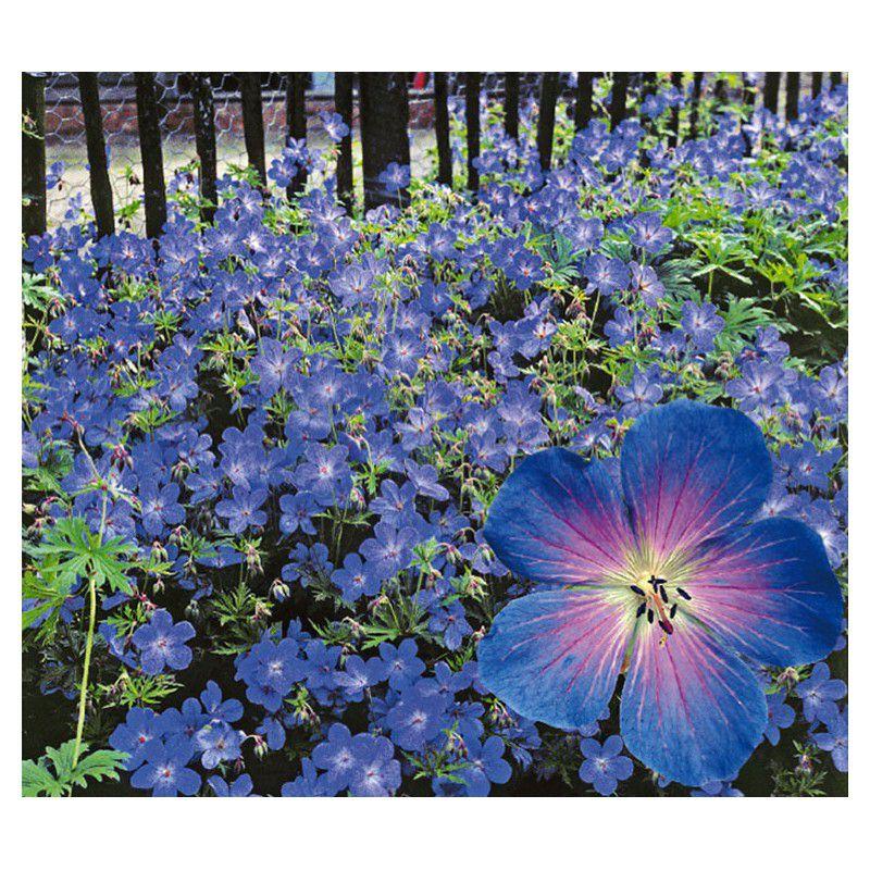 Geranium johnson 39 s blue plante en ligne for Prix plantes vivaces