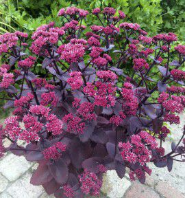 SEDUM CHOCOLATE CHERRY
