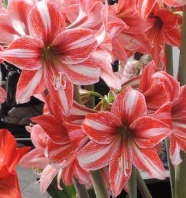 AMARYLLIS PYJAMA PARTY