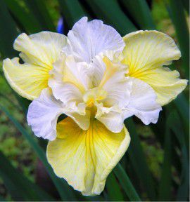 IRIS DE SIBERIE YELLOW TAIL