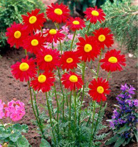 TANACETUM ROBINSON'S RED