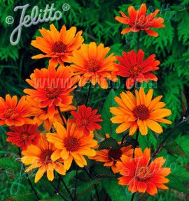 HELIOPSIS BLEEDING HEARTS