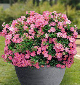 ROSIER MINIATURE PINK PIN'S® Intropi