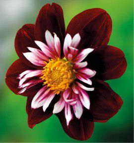 DAHLIA A COLLERETTES NIGHT BUTTERFLY