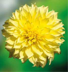 DAHLIA DECORATIF KELVIN FLOODLIGHT