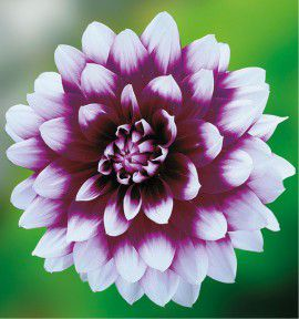 DAHLIA DECORATIF MYSTERY DAY