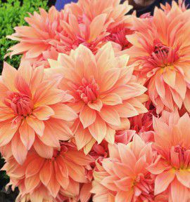 DAHLIA DECORATIF BABYLON BRONS
