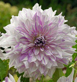 DAHLIA DECORATID MOM'S SPECIAL