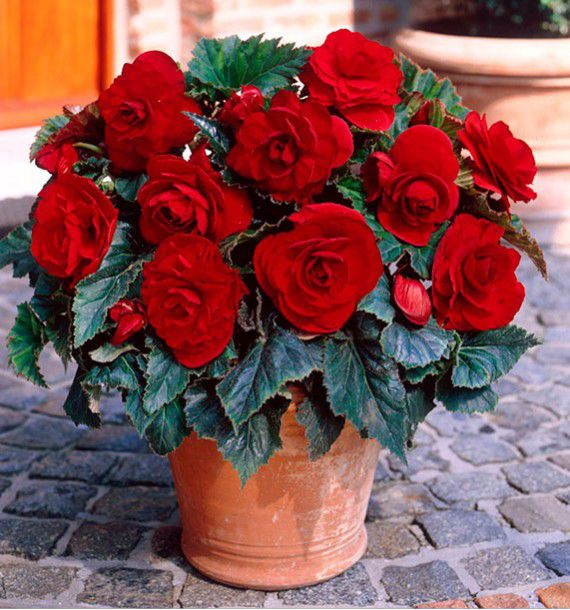 BEGONIAS DOUBLE DARK RED