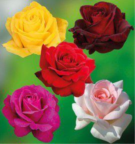 COLIBRIANT 5 ROSIERS BUISSONS : 1 DUFTGOLD+ 1 PARFUM MAGIQUE + 1 PAROLE + 1 PRINCE JARDINIER + 1 NORITA