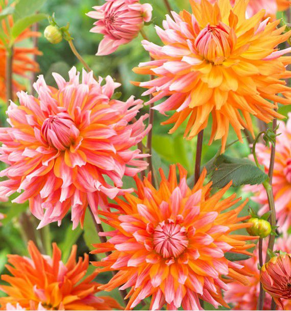 DAHLIA CACTUS ORANGE TURMOIL