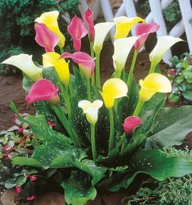 3 CALLAS : 1 rose + 1 jaune + 1 blanc