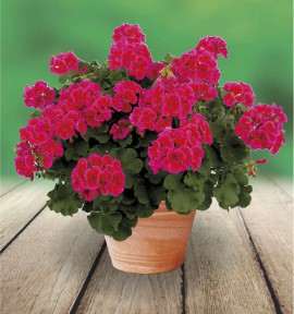 GERANIUM ZONALE CALLIOPE™ RED SPLASH®