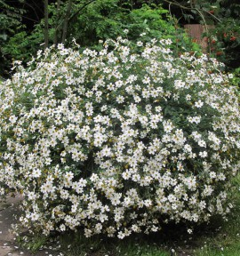 BIDENS BELLAMY WHITE