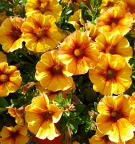 PÉTUNIA BEAUTICAL® CARAMEL YELLOW