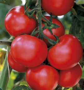 TOMATE GRAPPE GRAPPELINA